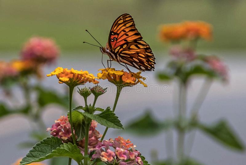 Farfalla del Fritillary del golfo fotografia stock libera da diritti