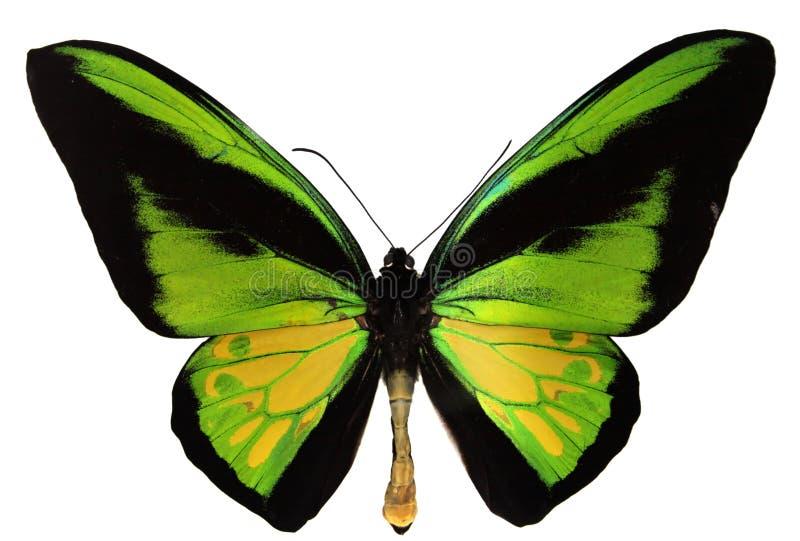 Farfalla del Goliath Birdwing immagini stock