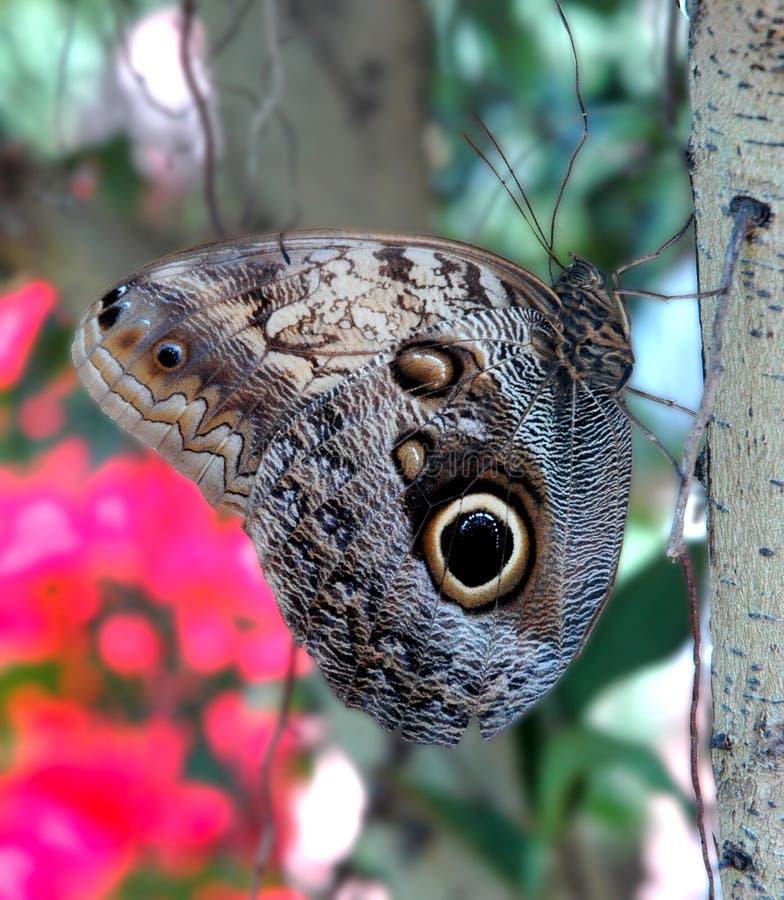 Farfalla del gufo fotografie stock libere da diritti