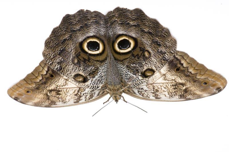 Farfalla del gufo, memnon di Caligo fotografie stock
