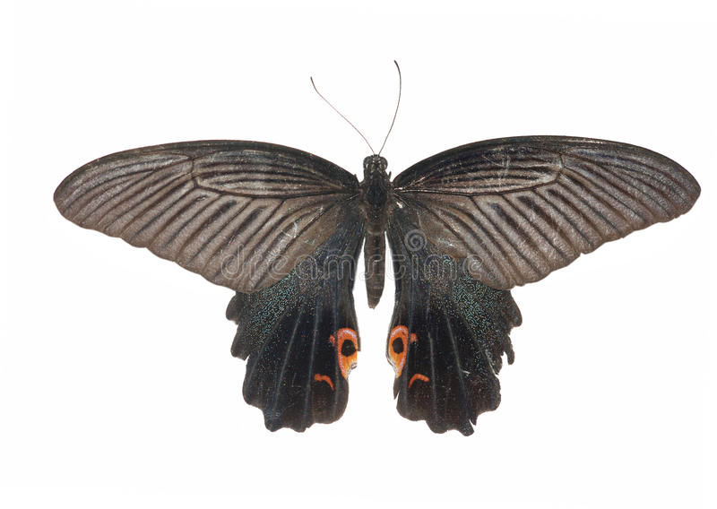 Farfalla del lustrino fotografia stock libera da diritti
