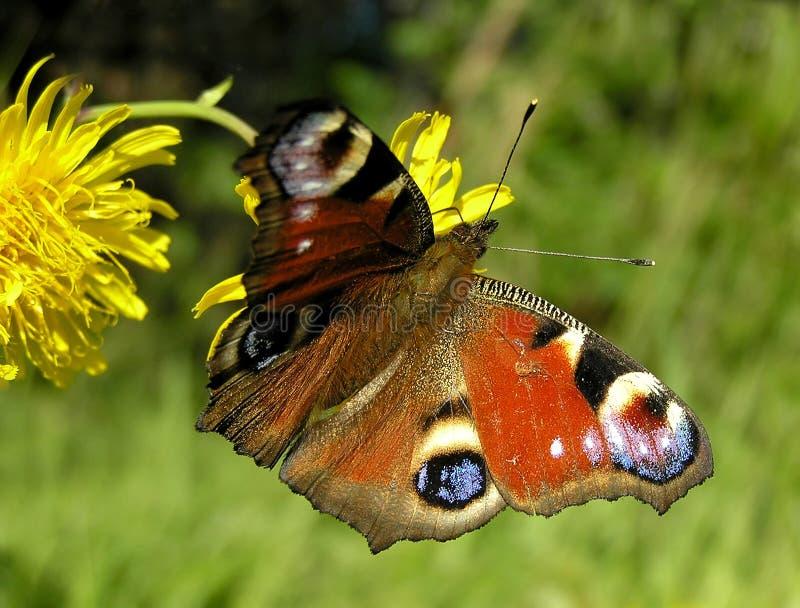 Download Farfalla del pavone immagine stock. Immagine di verde, seduta - 204373