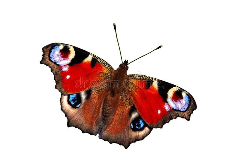 Farfalla del pavone immagini stock libere da diritti