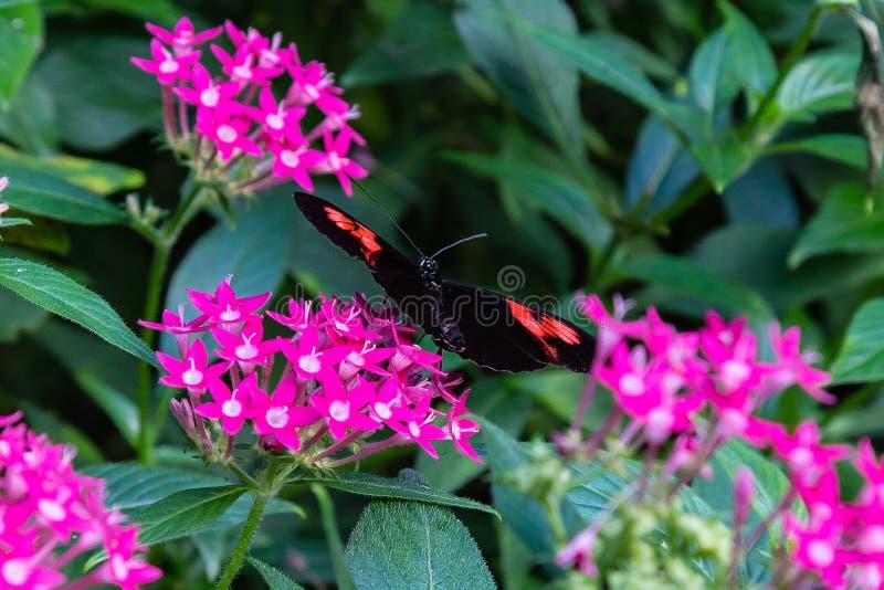 Farfalla del postino che si alimenta il fiore di lanceolata di pentas immagine stock libera da diritti