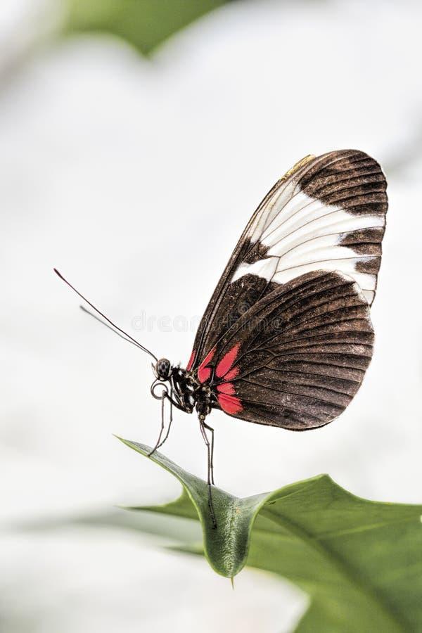 Farfalla del postino (melpomene di Heliconius) fotografie stock