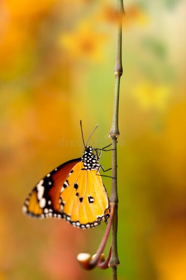Farfalla del primo piano sul fiore del fiore fotografie stock