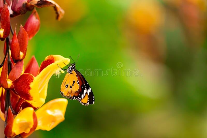 Farfalla del primo piano sul fiore del fiore immagine stock