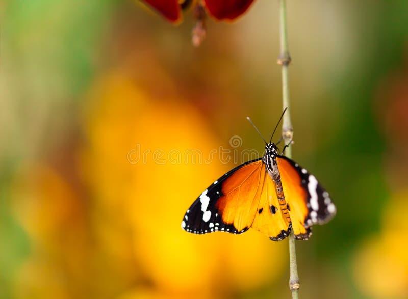 Farfalla del primo piano sul fiore del fiore immagini stock libere da diritti