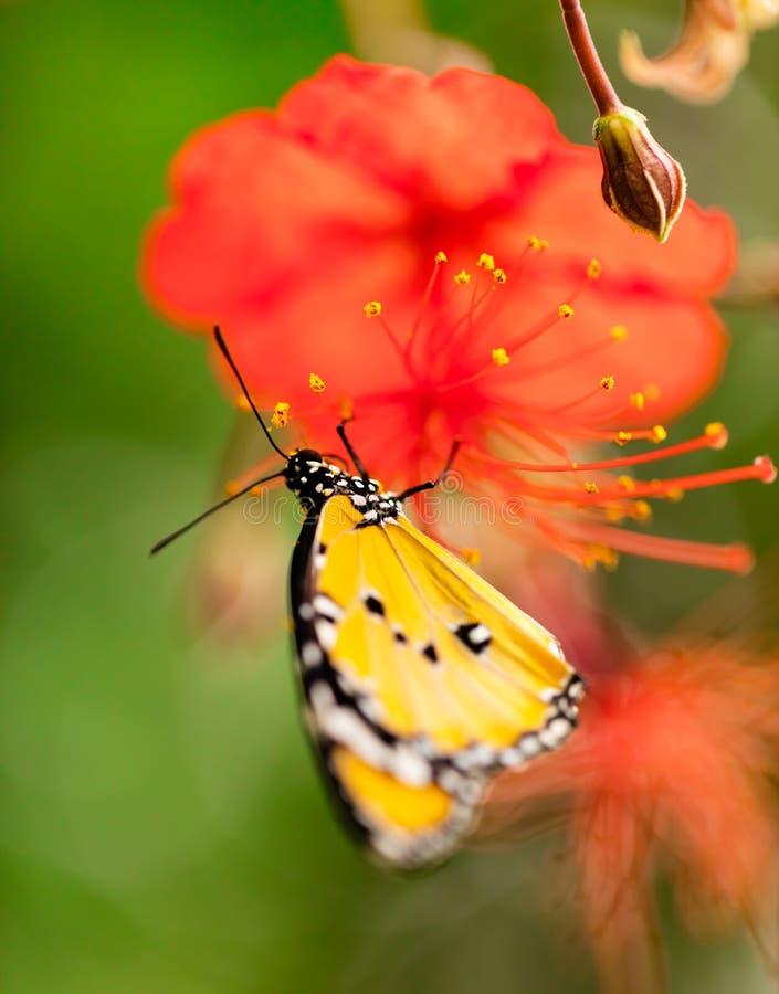 Farfalla del primo piano sul fiore del fiore fotografia stock libera da diritti