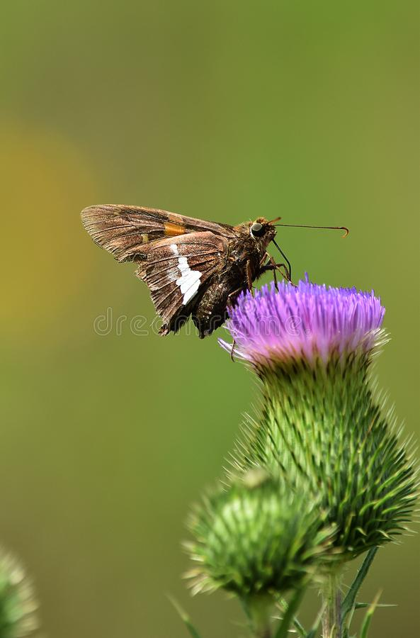 Farfalla del saltatore sul cardo selvatico fotografia stock