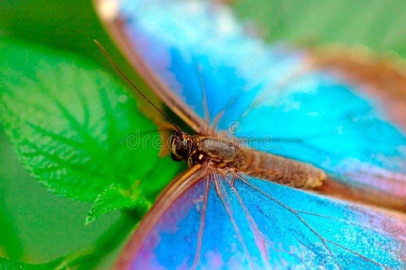 Farfalla del turchese fotografie stock libere da diritti