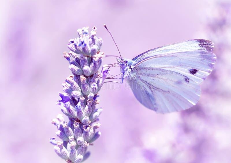 Farfalla delicata sul fiore della lavanda fotografie stock