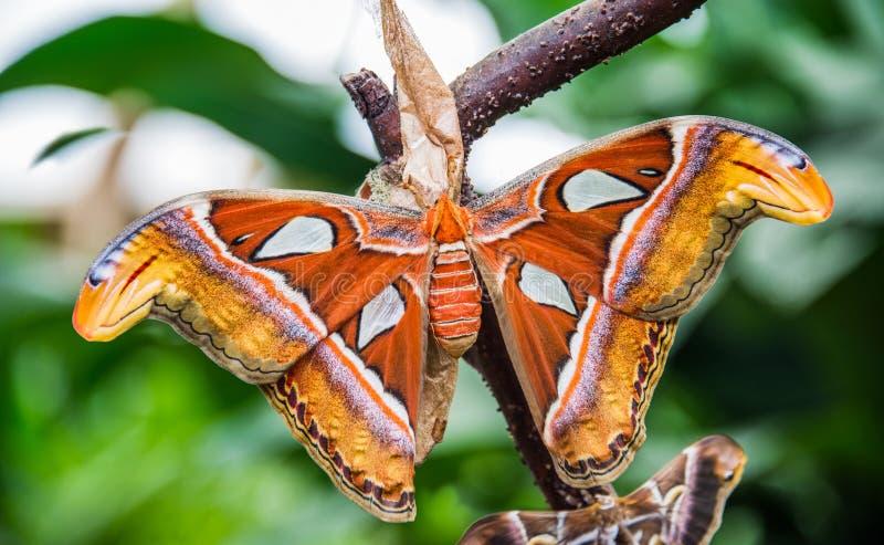 Farfalla dell'atlante di Attacus immagine stock libera da diritti
