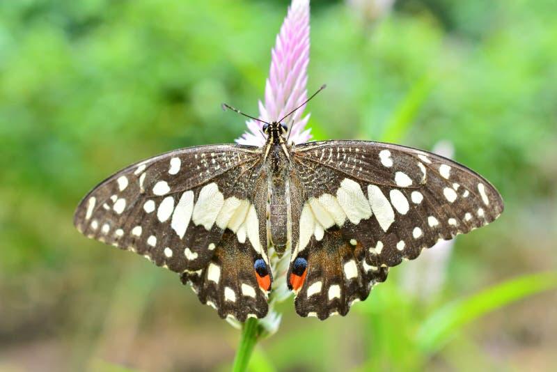Farfalla della calce sul fiore immagine stock