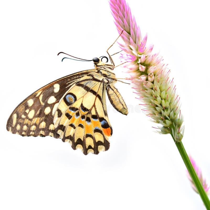 Farfalla della calce sul fiore immagini stock libere da diritti