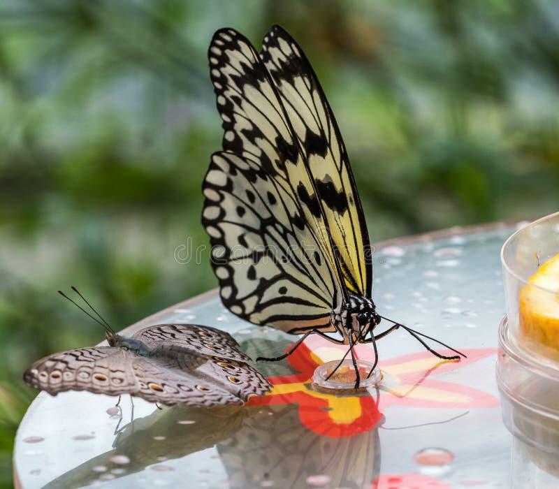 Farfalla della crisalide dell'albero o farfalla della carta di riso, leuconoe di idea sui fiori fotografie stock