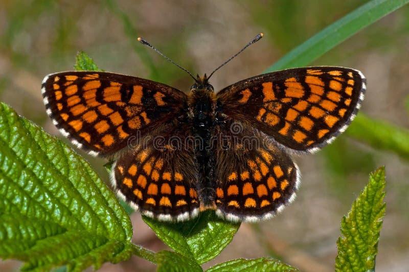 Farfalla della fritillaria della brughiera, athalia di Melitaea fotografie stock
