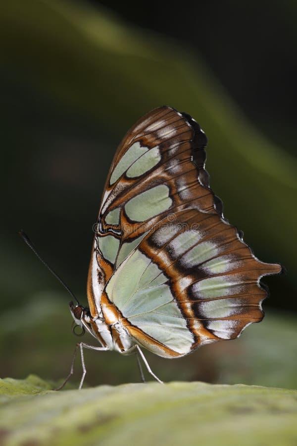 Farfalla della malachite immagine stock