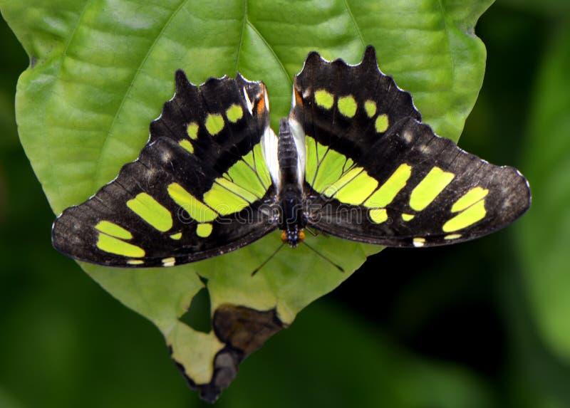 Farfalla della malachite immagini stock libere da diritti
