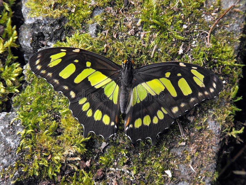 Farfalla della malachite con le ali aperte fotografia stock