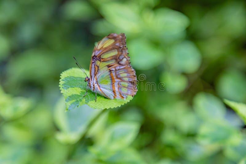 Farfalla della malachite con le ali chiuse fotografia stock