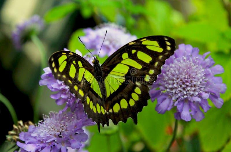 Farfalla della malachite, stelenes di Siproeta fotografie stock