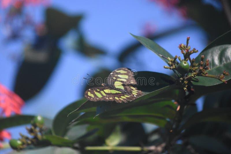 Farfalla della malachite in un giardino della farfalla in Aruba immagini stock libere da diritti
