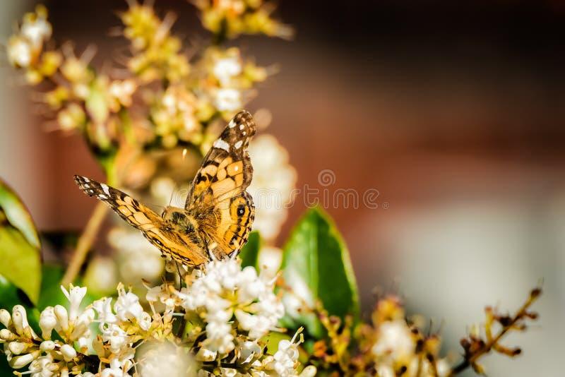 Farfalla della primavera su Bush fotografia stock libera da diritti