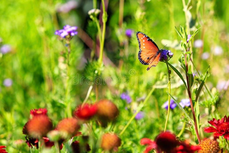 Farfalla della regina nel giardino del Wildflower fotografie stock