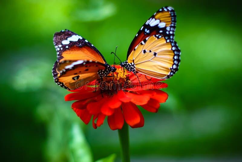 Farfalla delle coppie fotografia stock