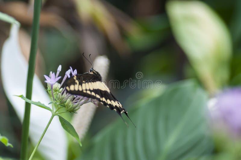 Farfalla delle speci di Papilio fotografia stock