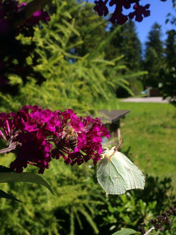 Farfalla dello zolfo fotografia stock