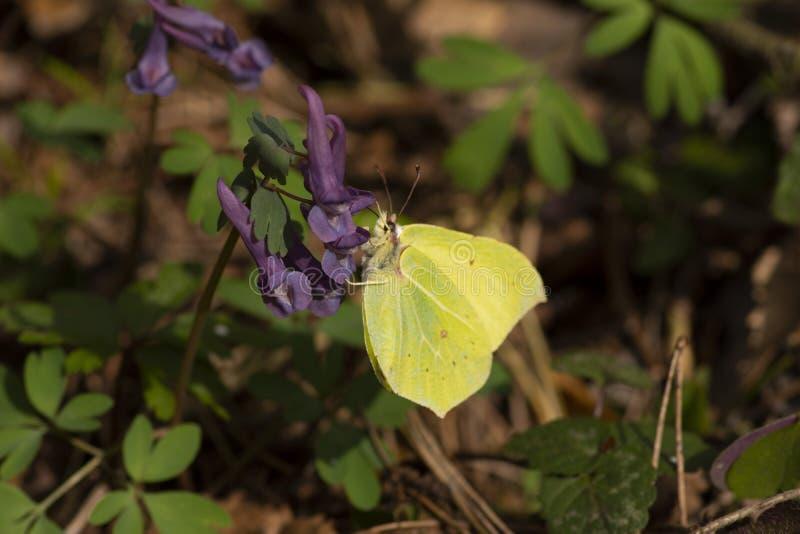 Farfalla dello zolfo che si siede sul fiore con i precedenti di verde di riflessione di luce solare all'aperto immagini stock libere da diritti