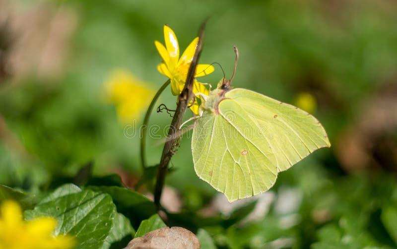 Farfalla dello zolfo sul fiore giallo fotografia stock libera da diritti