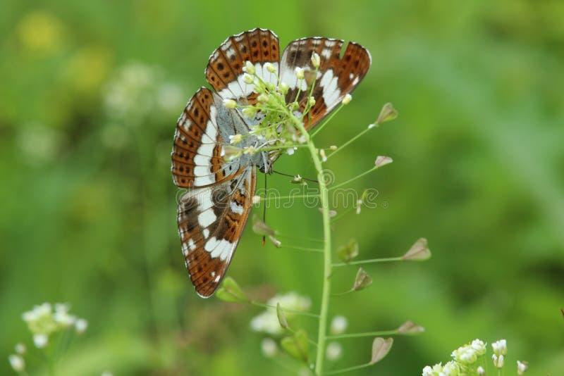 Farfalla di ammiraglio bianco immagine stock