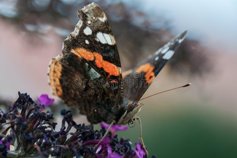 Farfalla di ammiraglio che si siede sulle fioriture fotografia stock libera da diritti