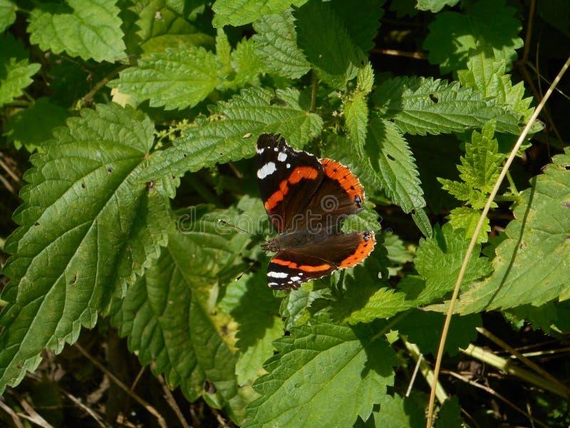 Farfalla di ammiraglio nella foresta immagine stock libera da diritti
