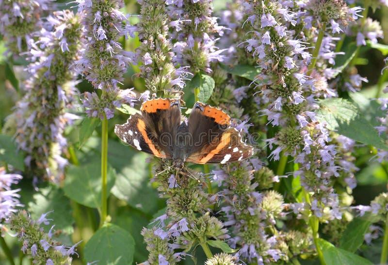 Farfalla di ammiraglio rosso sull'habitat della farfalla della baia di Humber dei fiori immagine stock libera da diritti