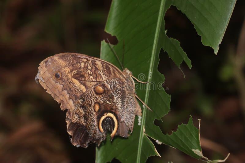 Farfalla di atreus di Caligo che mangia dalla foglia fotografie stock libere da diritti