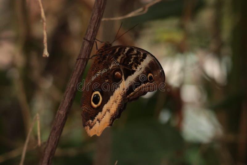 Farfalla di atreus di Caligo che mangia dalla foglia fotografia stock