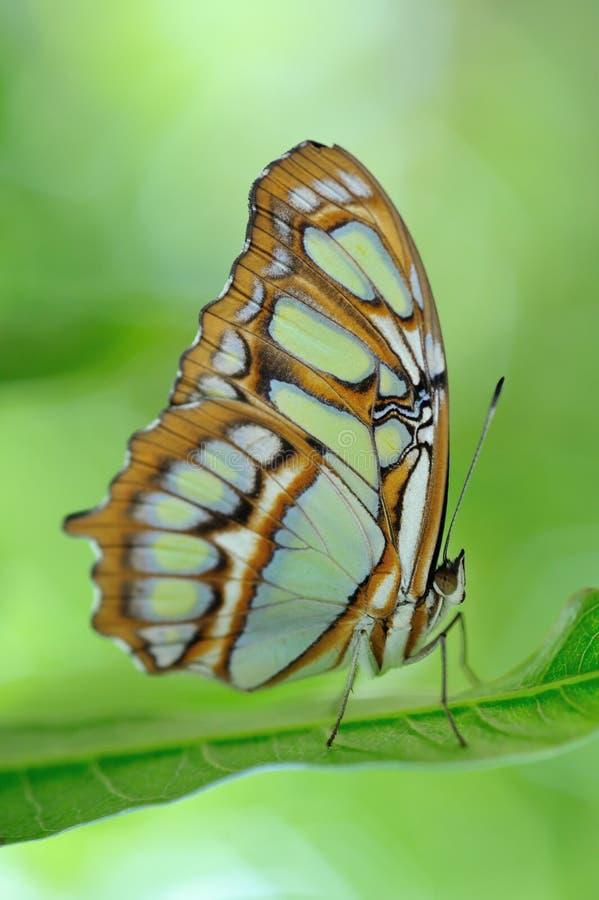 Farfalla di bambù limitata della pagina fotografia stock