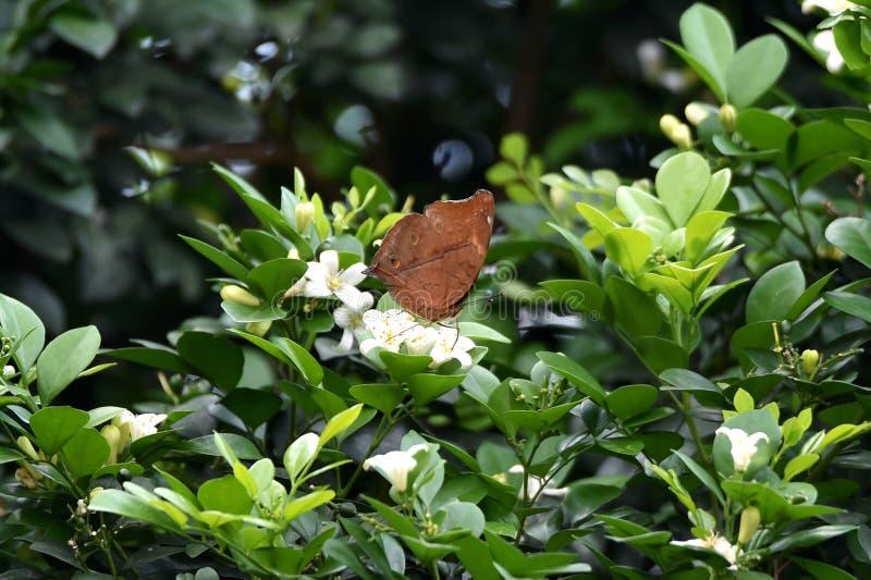 Farfalla di Brown appollaiata su un fiore bianco fotografia stock