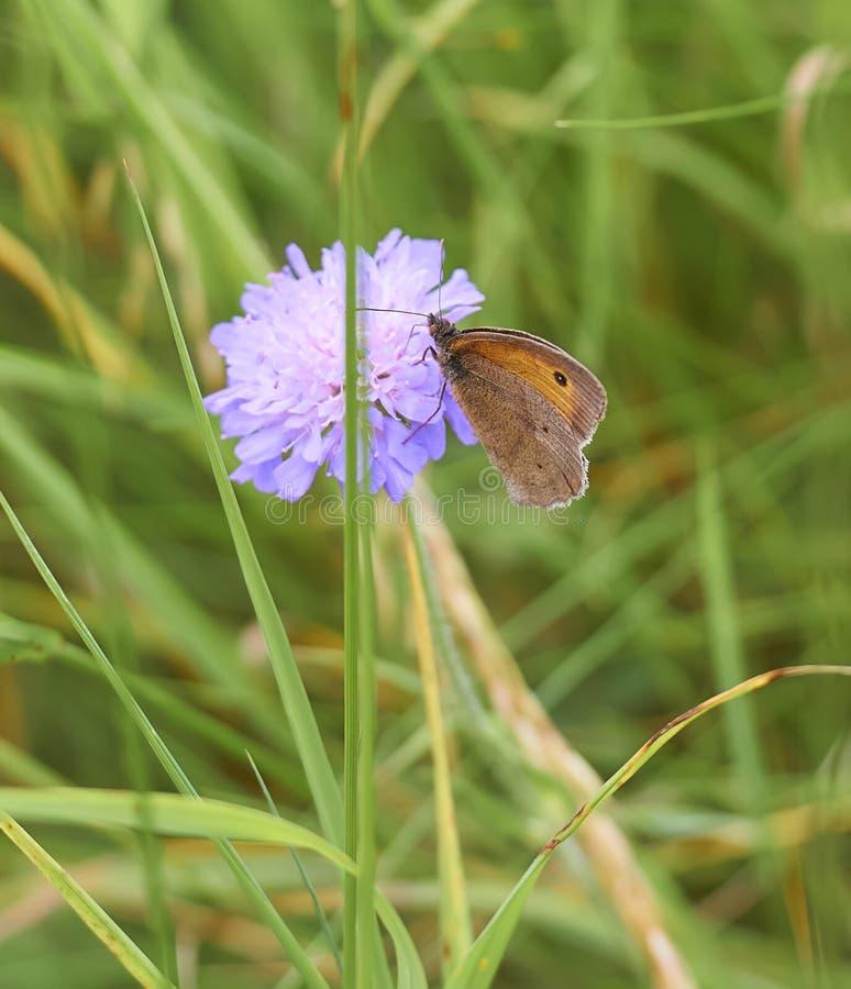 Farfalla di Brown del prato su un fiore selvaggio porpora fotografia stock libera da diritti