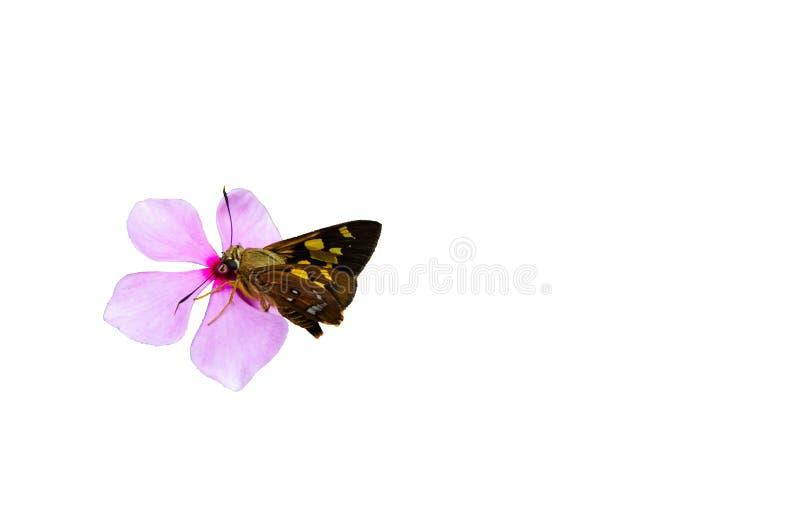 Farfalla di Brown sul bello fiore porpora rosa isolato su fondo bianco fotografie stock