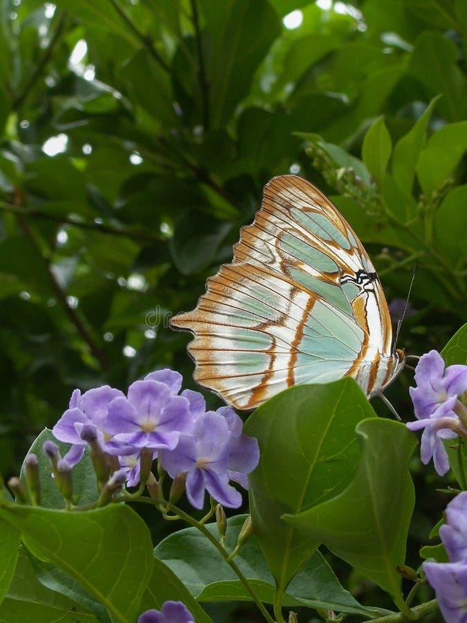 Farfalla di Brown sul fiore porpora fotografia stock