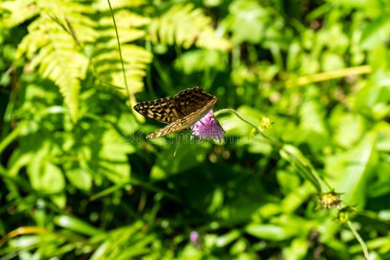 Farfalla di Brown sul fiore porpora fotografie stock libere da diritti