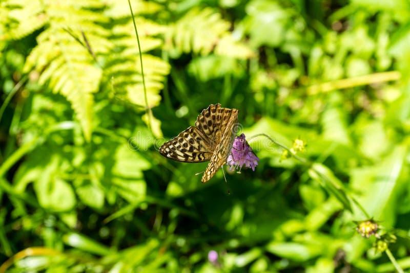 Farfalla di Brown sul fiore porpora immagine stock libera da diritti