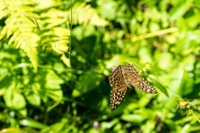 Farfalla di Brown sul fiore porpora fotografia stock libera da diritti