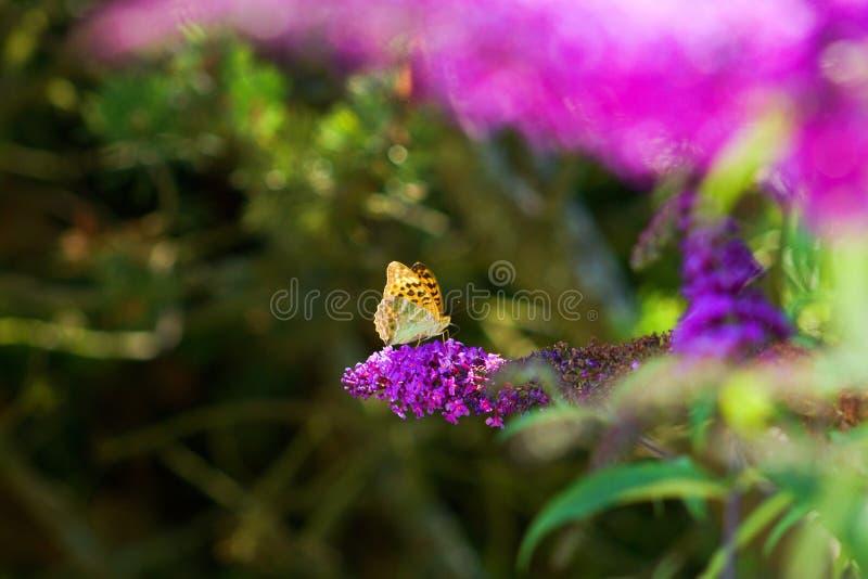 FARFALLA di didyma di Melitaea su un fiore del cespuglio di farfalla immagini stock