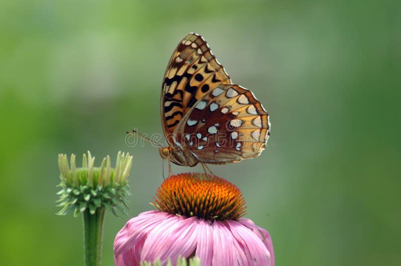 Farfalla di Fritiilary su Coneflower immagine stock libera da diritti
